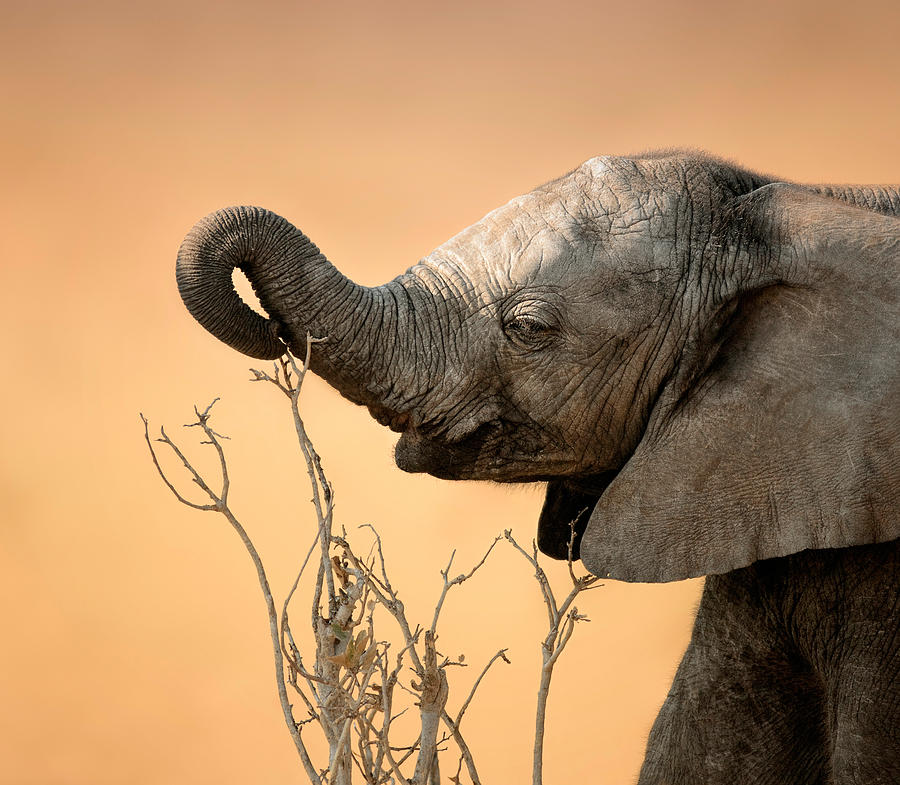 Baby Elephant Reaching For Branch Photograph