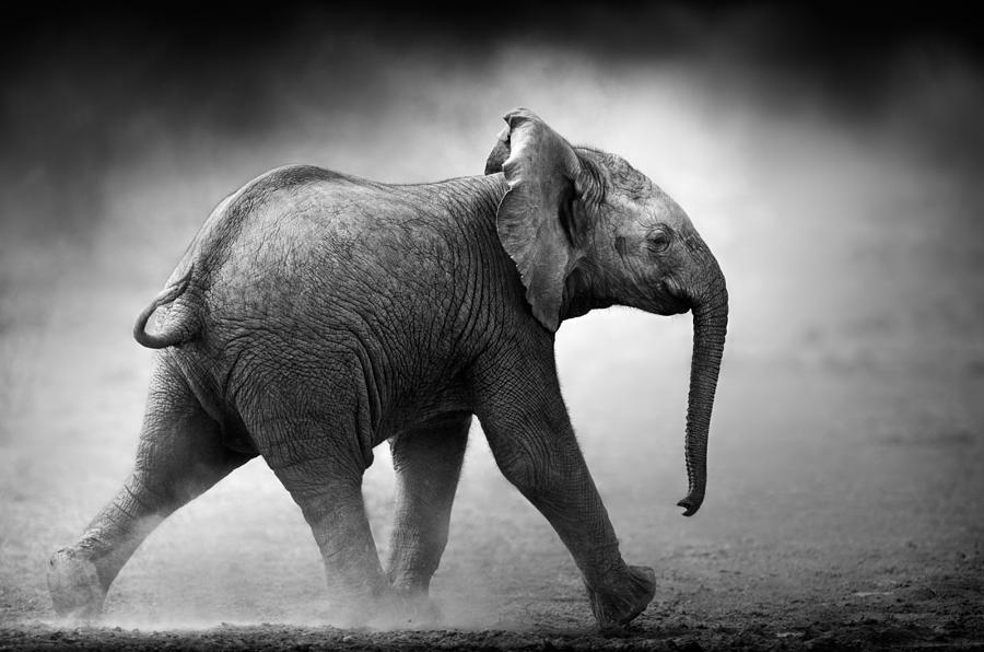 Baby Elephant Running Photograph