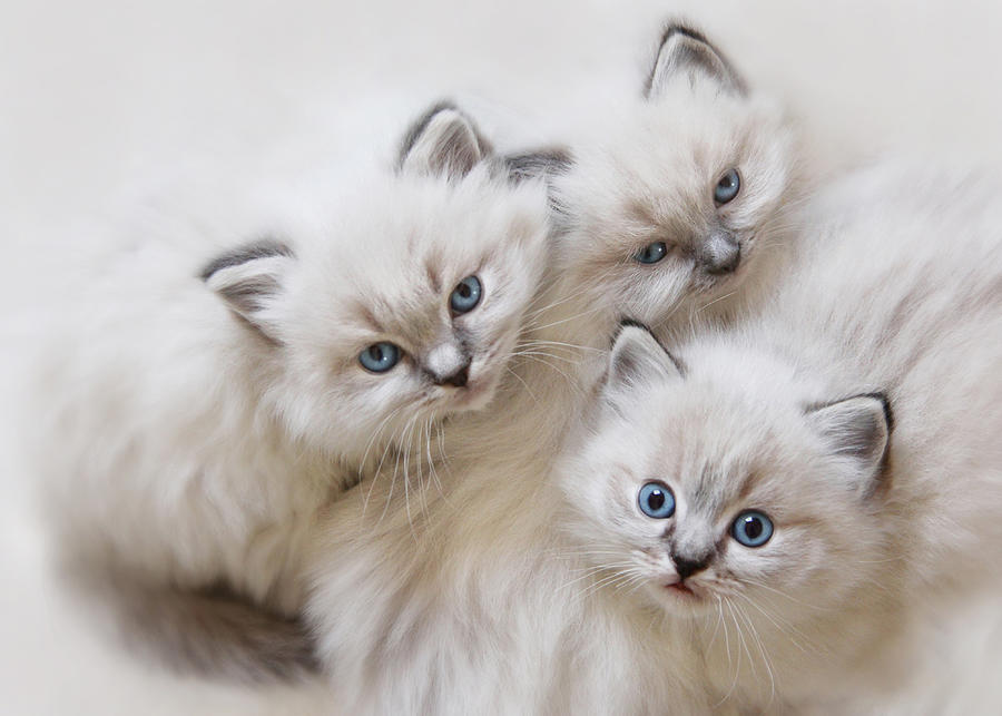 Ragdoll Kittens Photograph - Baby Faces by Lori Deiter