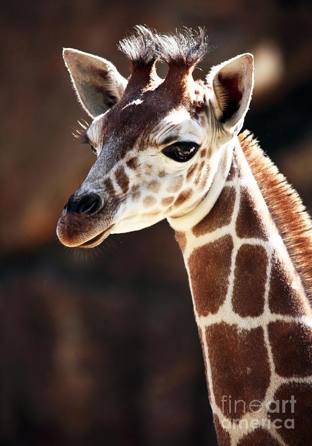 Baby Giraffe Photograph