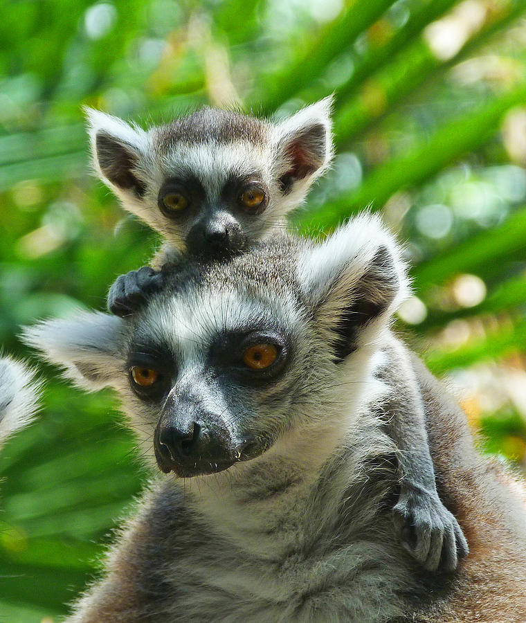 Ringtailed lemur videos photos and facts  Lemur catta