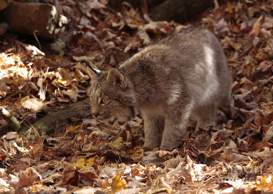 Art Card Photograph - Baby Lynx On The Look Out by Inspired Nature Photography Fine Art Photography