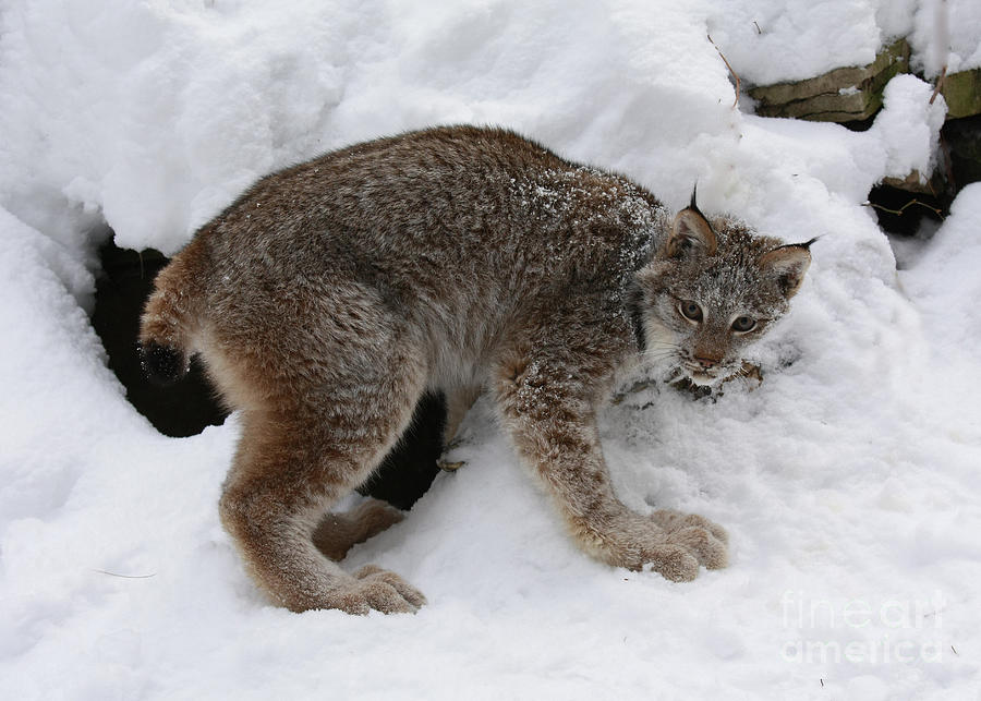 Baby Lynx Staying Close To Its Winter Den Photograph  - Baby Lynx Staying Close To Its Winter Den Fine Art Print