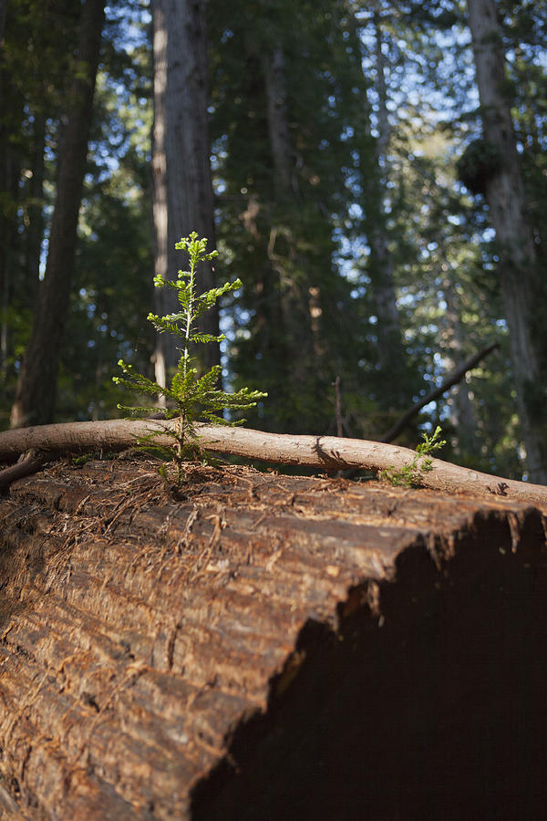 Sequoia Sempervirens (pronounced /sɨˈkɔɪ.ə Sɛmpərˈvaɪrənz/)[1] Is The Sole Living Species Of The Genus Sequoia In The Cypress Family Cupressaceae (formerly Treated In Taxodiaceae). Common Names Include Coast Redwood Photograph - Baby Redwood by Joel Moranton