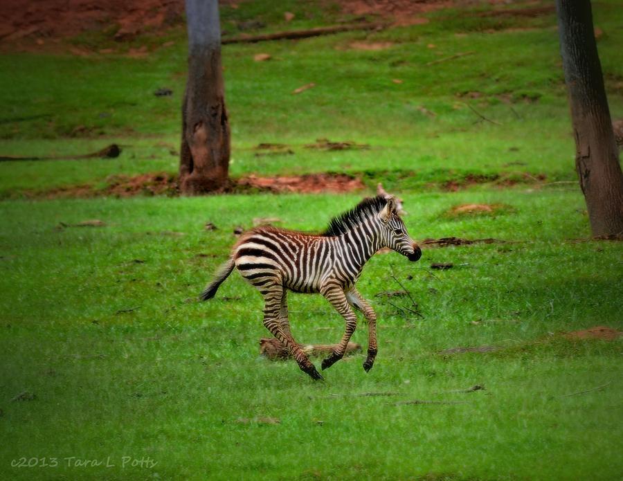 zebra running - photo #16