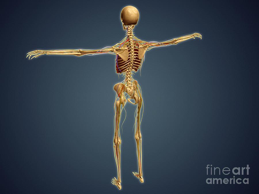 Back View Of Human Skeleton Digital Art