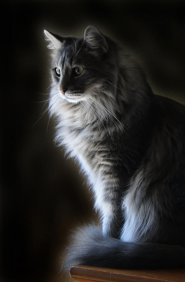 Backlit Kitty Photograph