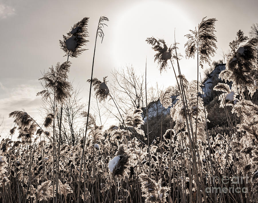 Backlit Winter Reeds Photograph