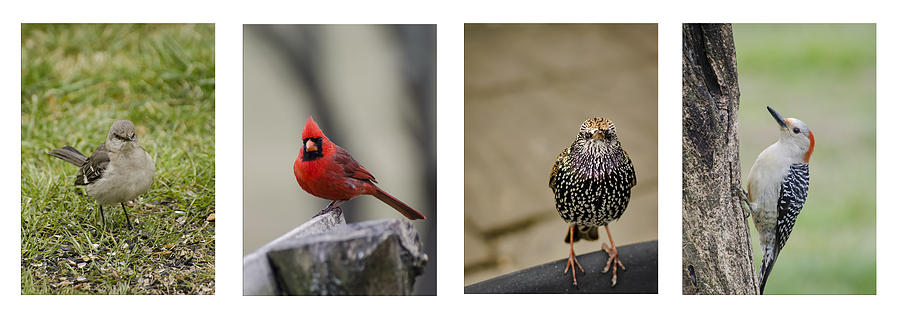 Backyard Bird Series Photograph