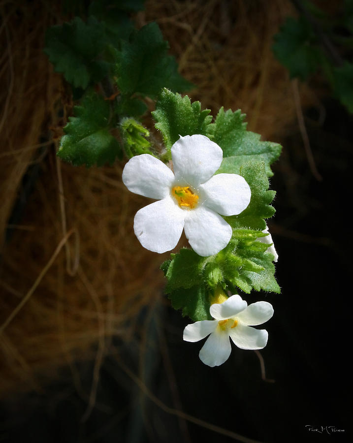 Bacopa Photograph  - Bacopa Fine Art Print