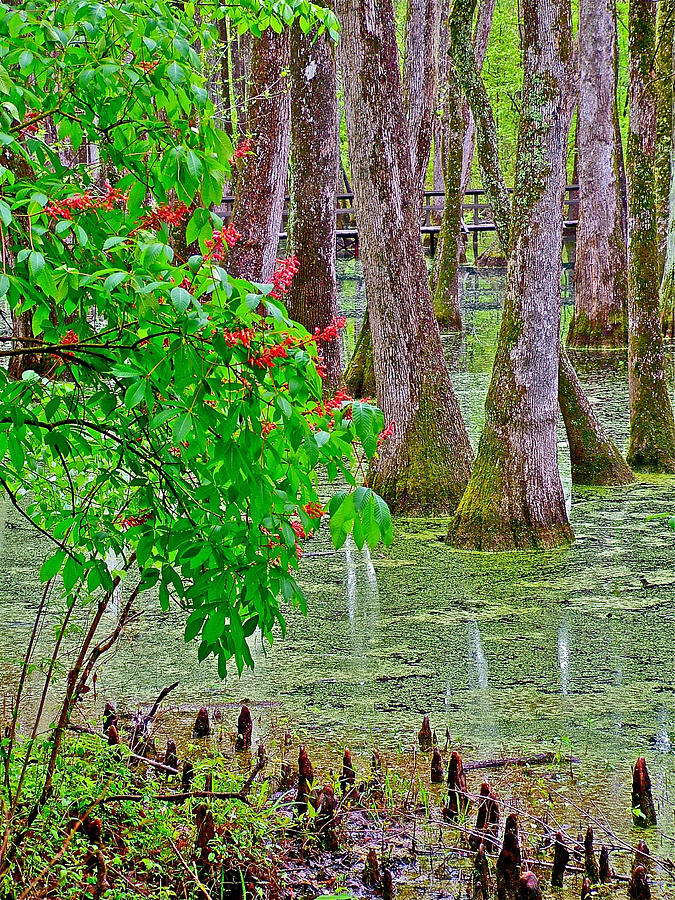 Bald Cypress And Red Buckeye Tree At Mile 122 Of Natchez Trace Parkway-mississippi Photograph