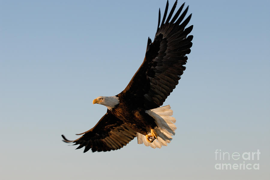 Bald Eagle Flying With Fish In Its Talons Photograph