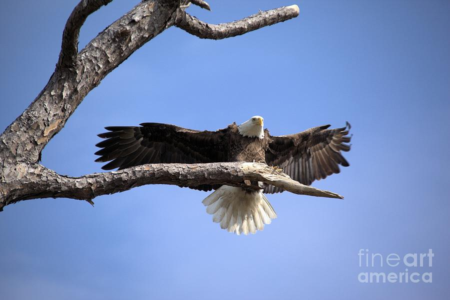 Bald Eagle In Flight 5 Photograph