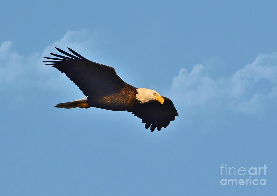 Bald eagles in flight - photo#7