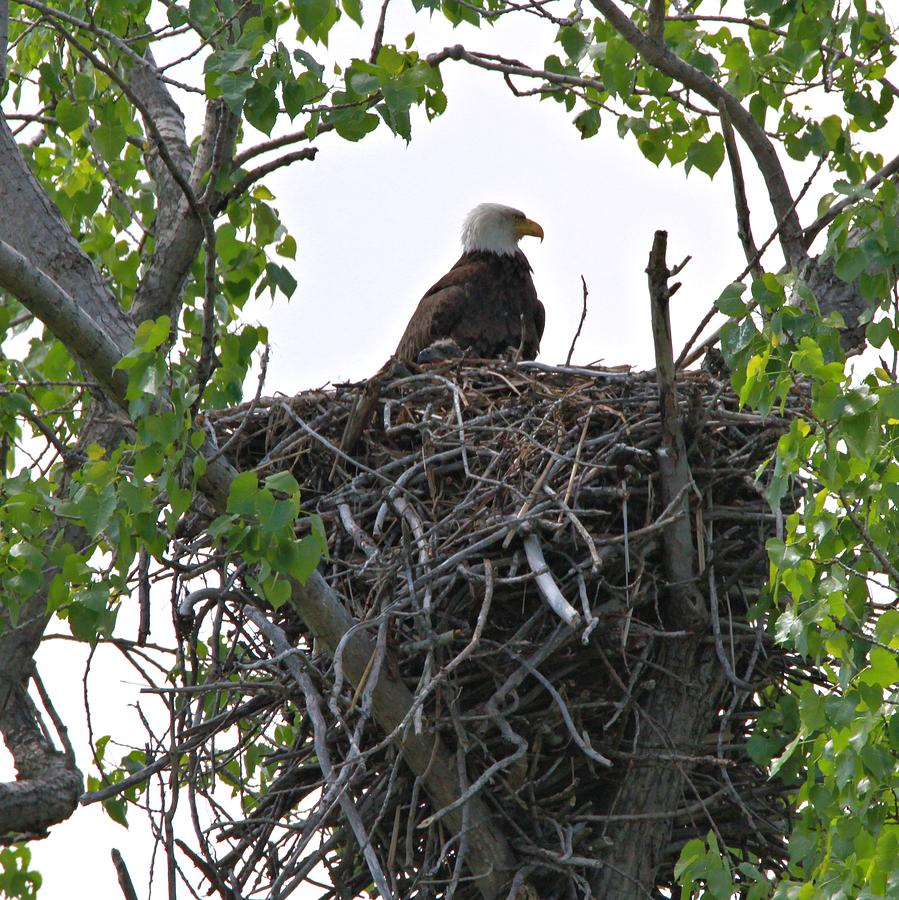 Bald Eagle On Nest Photograph by Dan Sproul