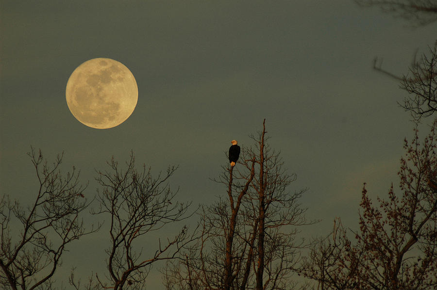 Bald Eagle Watching The Full Moon Rise Photograph - Bald Eagle Watching The Full Moon by Raymond Salani III