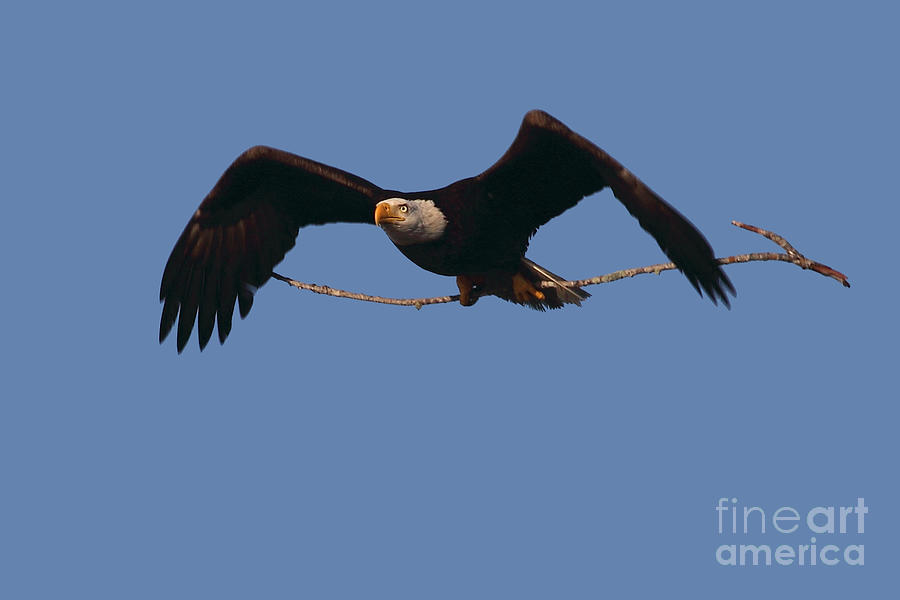 Bald Eagle With Nesting Supplies Photograph