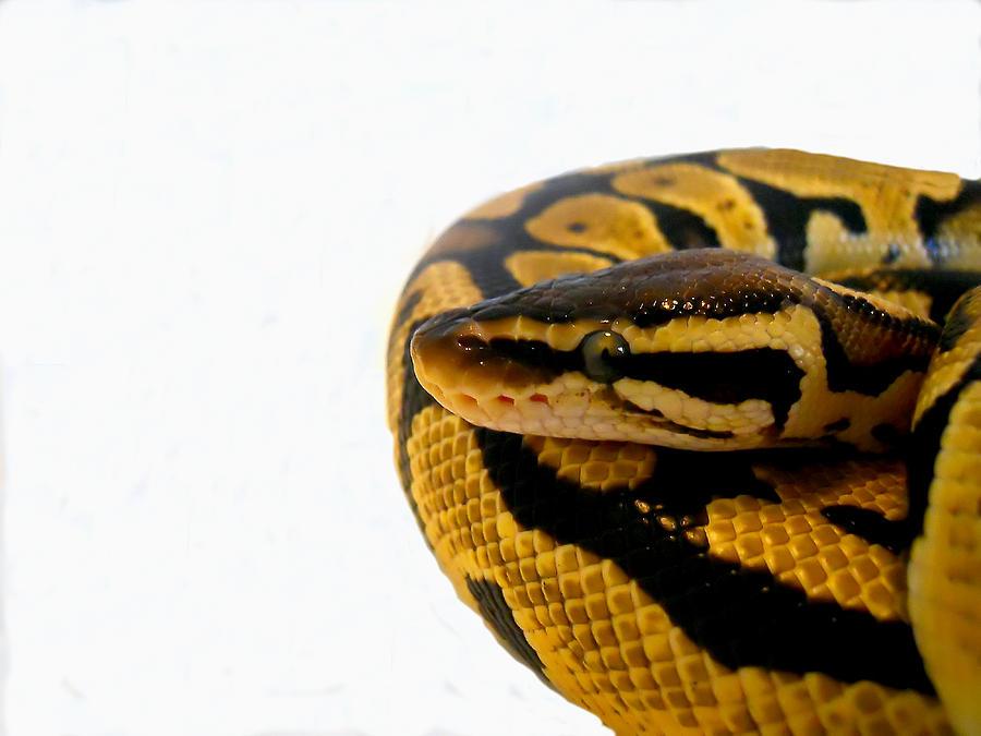 Ball Python Photograph
