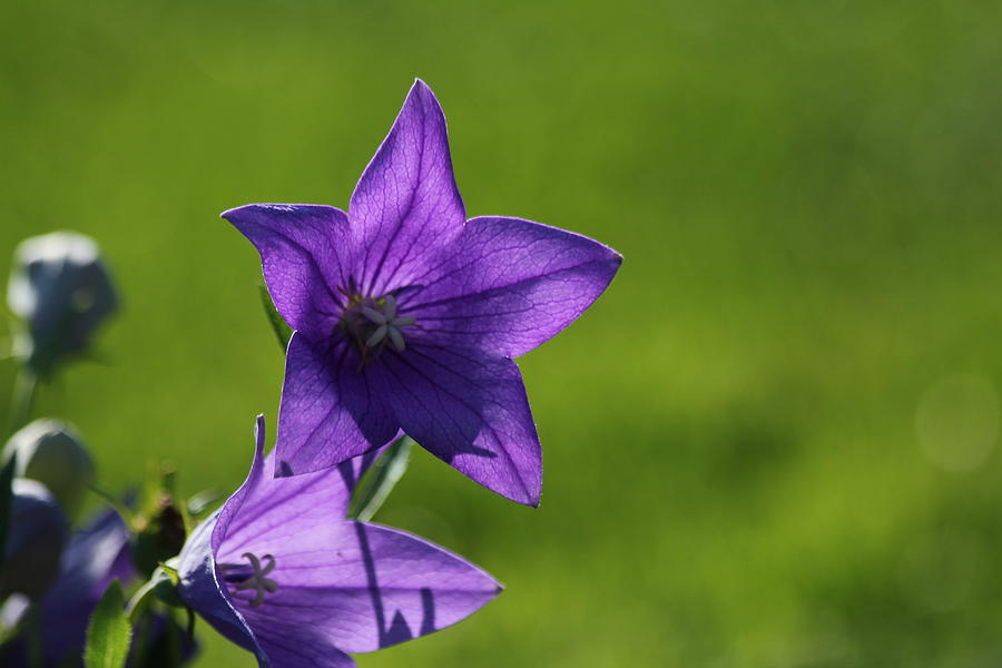 Balloon Flower Photograph