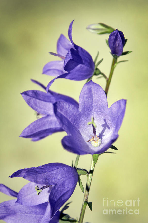 Balloon Flowers Photograph