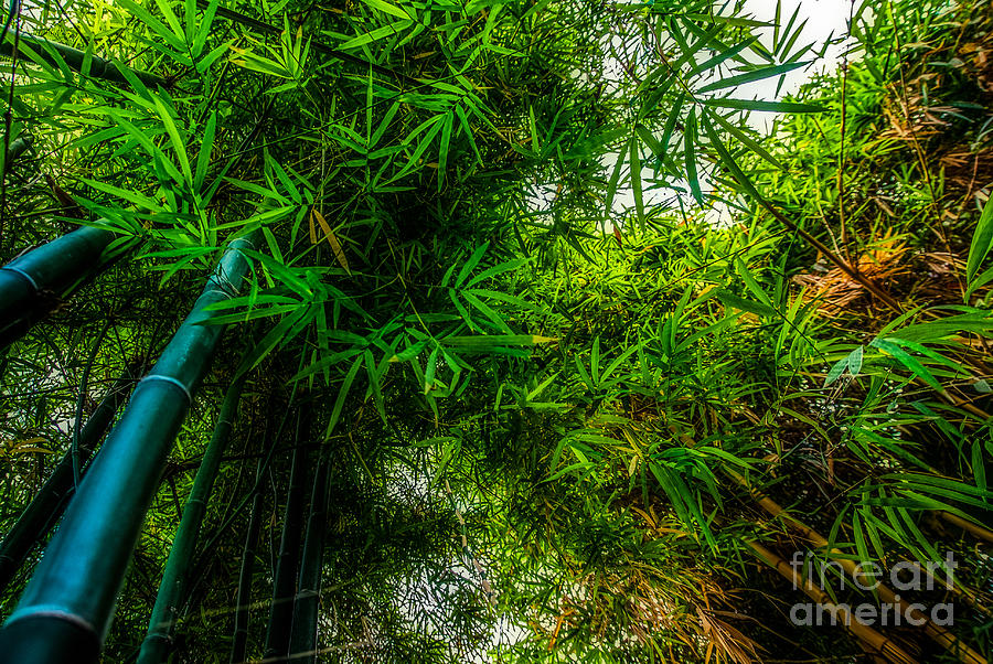 bamboo III - green Photograph