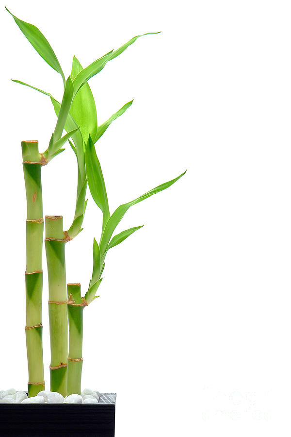 Bamboo Stems In Black Vase Photograph