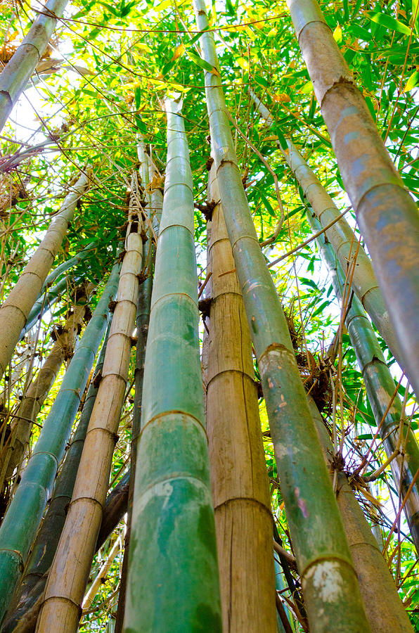 Bamboo To The Sky Photograph  - Bamboo To The Sky Fine Art Print