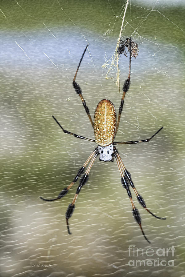Banana Spider Photograph