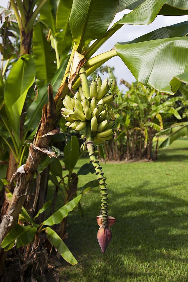 Banana Tree Photograph