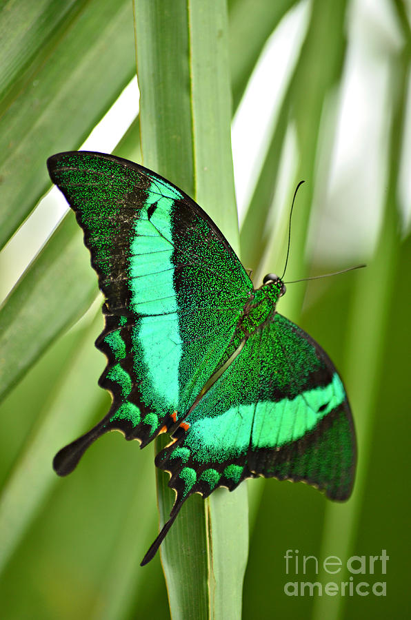 Green peacock butterfly - photo#7