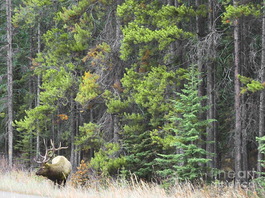 Banff Spring Elk Photograph
