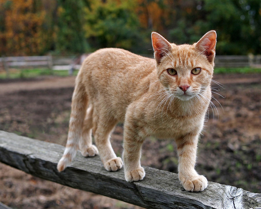 Barn Cat Photograph