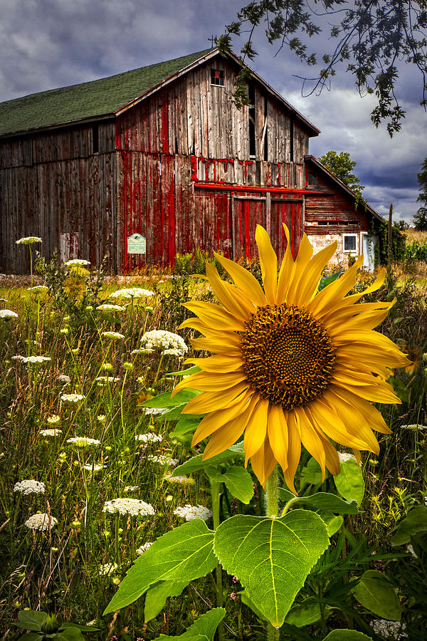 Barn Meadow Flowers Photograph By Debra And Dave Vanderlaan