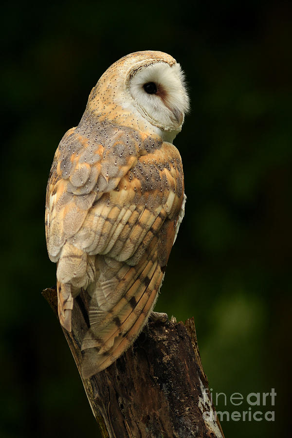 Barn Owl At Twilight Photograph