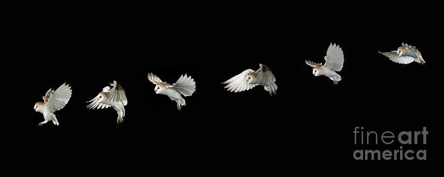 Barn Photograph - Barn Owl In Flight by Stephen Dalton