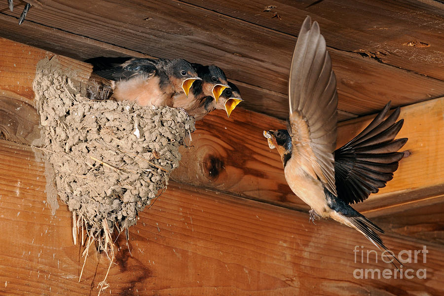 Barn Swallow Photograph - Barn Swallow Nest by Scott Linstead