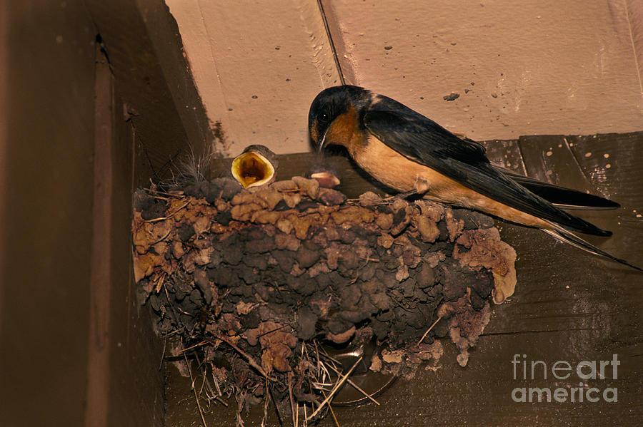 Barn Swallow Photograph - Barn Swallow by Ron Sanford