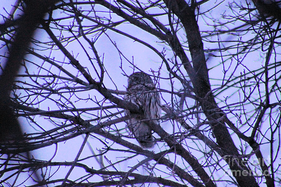 Barred Owl Photograph  - Barred Owl Fine Art Print
