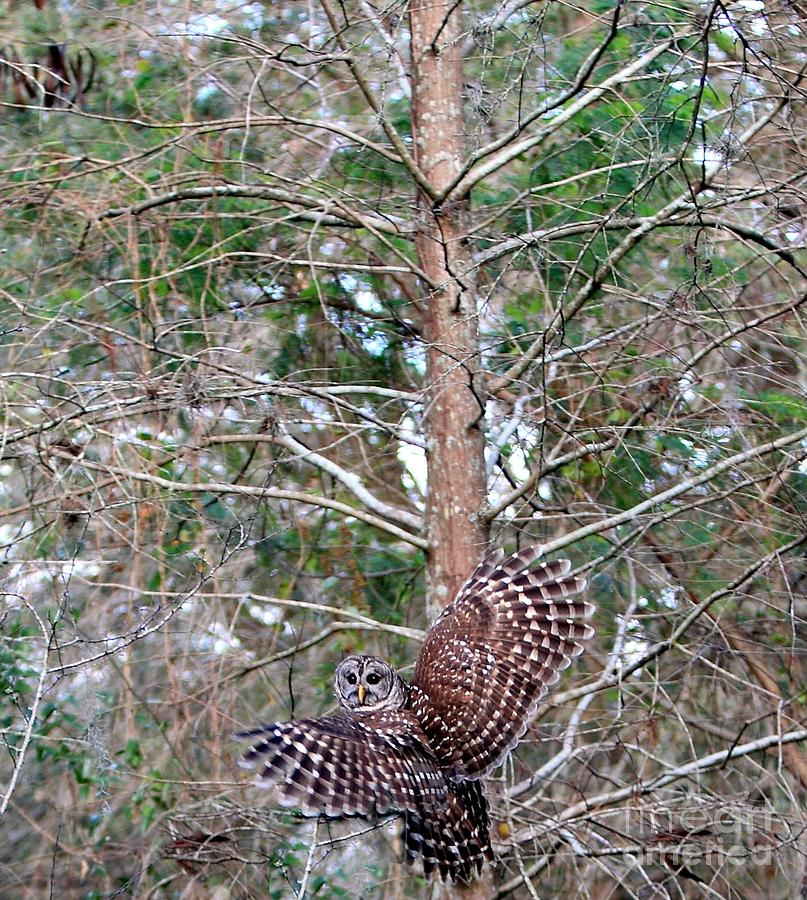 Barred Owl In Flight 3 Photograph  - Barred Owl In Flight 3 Fine Art Print
