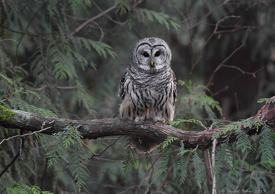 Barred Owl Photograph - Barred Owl Stare Down by Daniel Behm