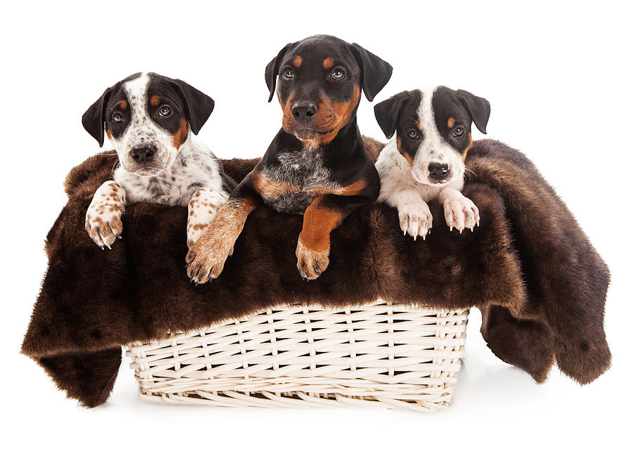 Basket Of Rottweiler Mixed Breed Puppies Photograph