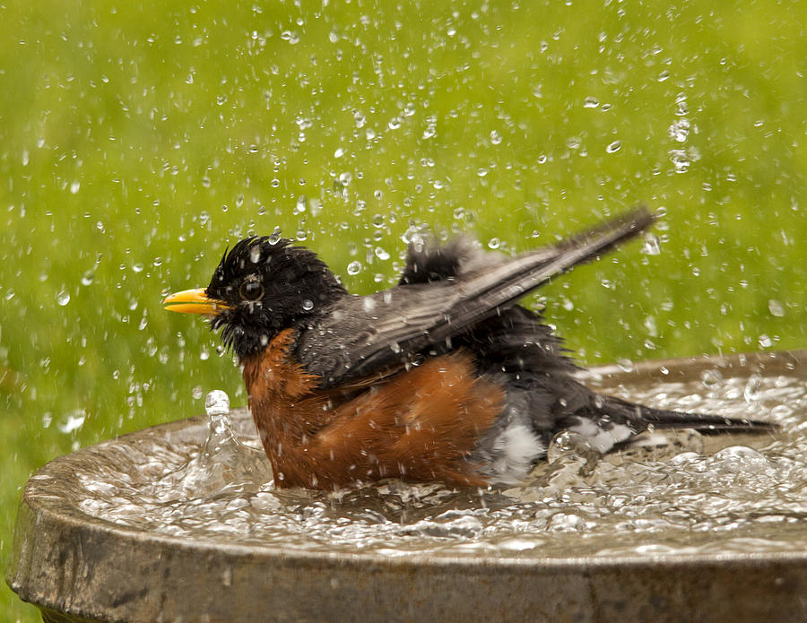 Bathing Robin Photograph  - Bathing Robin Fine Art Print