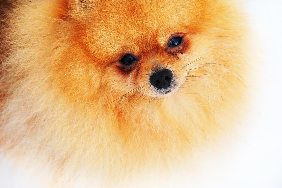 Dog Photograph - Be My Valentine by Jenny Rainbow