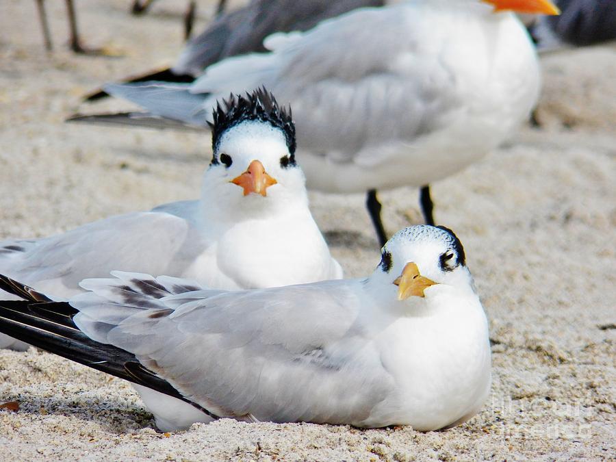 Royal Terns Painting - Beach Bird Hairdo by Judy Via-Wolff