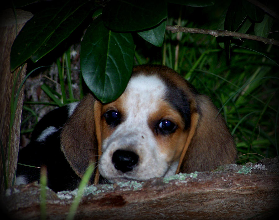 Beagle Puppy Photograph