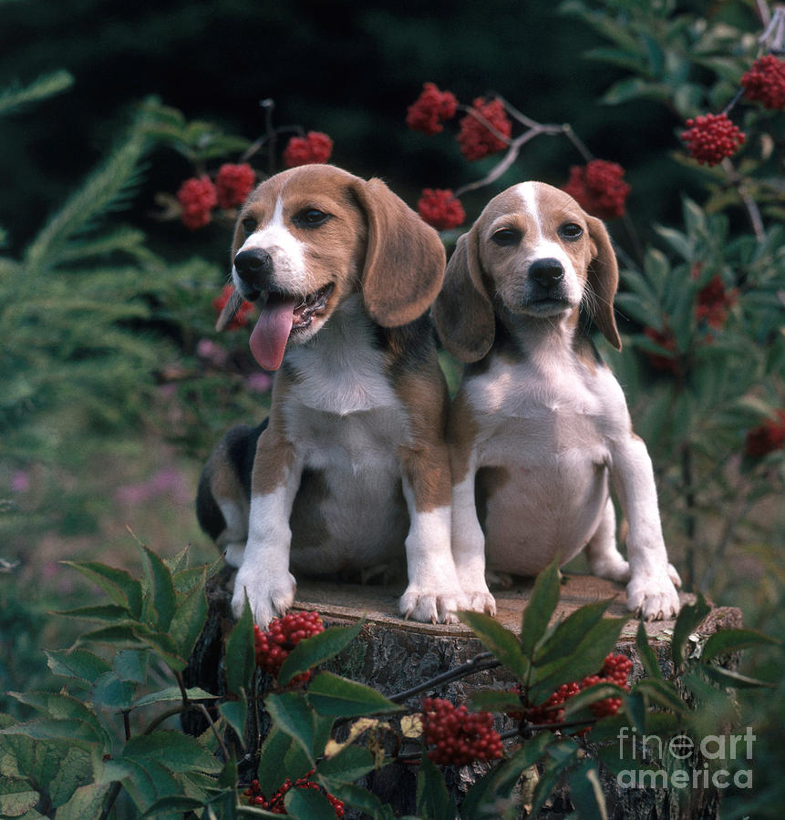 Beagles Photograph