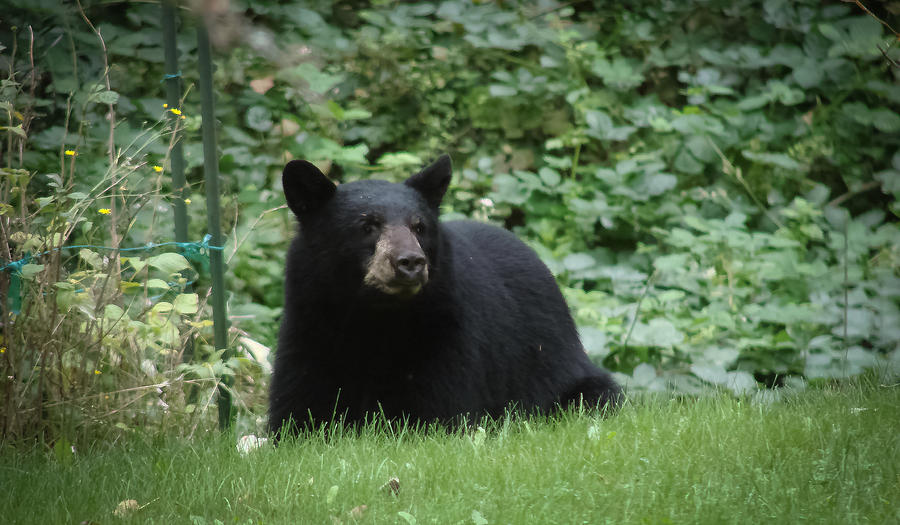 bear in our yard photograph by ronda broatch