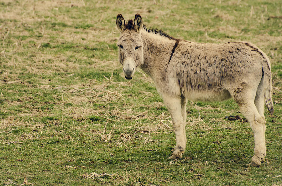 Donkey Photograph - Beast Of Burden by Heather Applegate