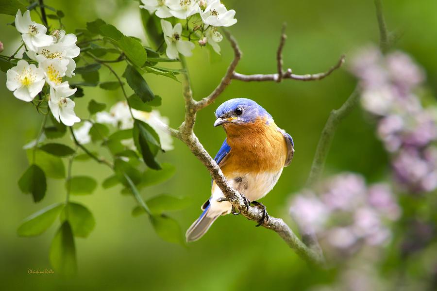 Beautiful Bluebird Photograph