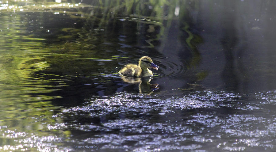 Beautiful Duckling Photograph  - Beautiful Duckling Fine Art Print